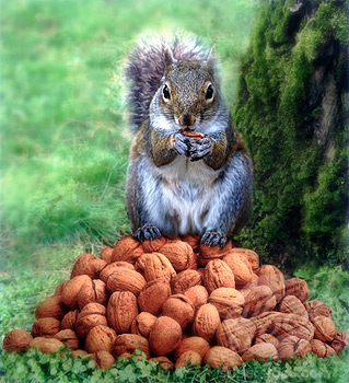 Squirrel Hoarding Walnuts